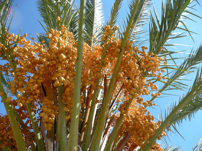 Beauty In Nature Close-up DatePalm Dates Dattel Dattelpalme Day Essen City Flower Freshness Growth Klarer Himmel Lebensmittel Low Angle View Nature No People Outdoors Palm Tree Palme Vor Blauem Himmel Plant Sky Südländische Früchte Sűsse Früchte Tranquility Tree