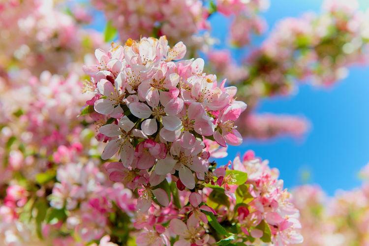 Aple_tree Blossim Blossoming Tree Blue Sky Closeup Flowers Macro Photography Springtime Tree