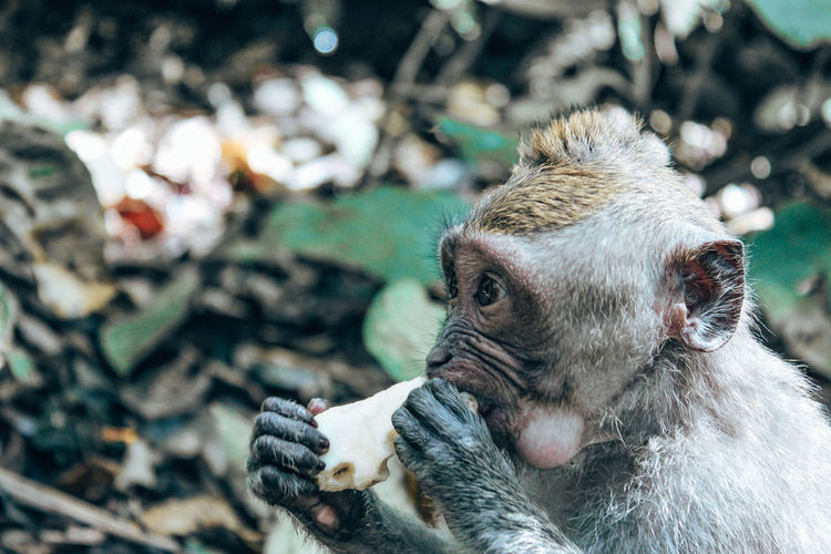 Close-up of monkey eating in forest