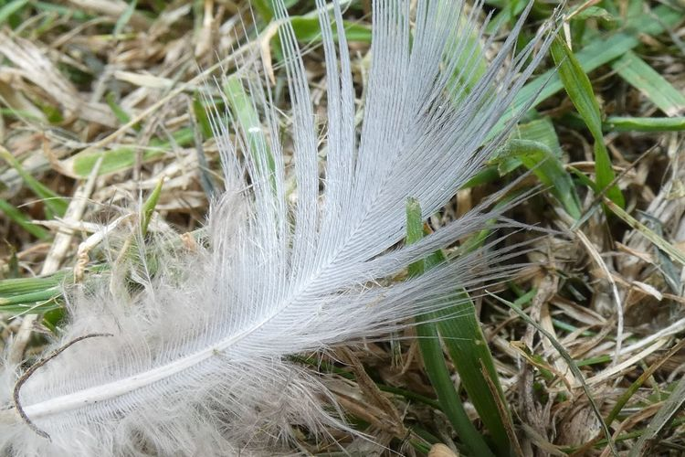 Feather  Plant