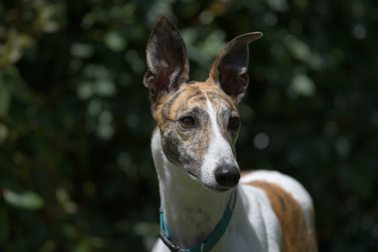 Elegantly poised, this white and brindle pet greyhound dog is alert with her ears pricked