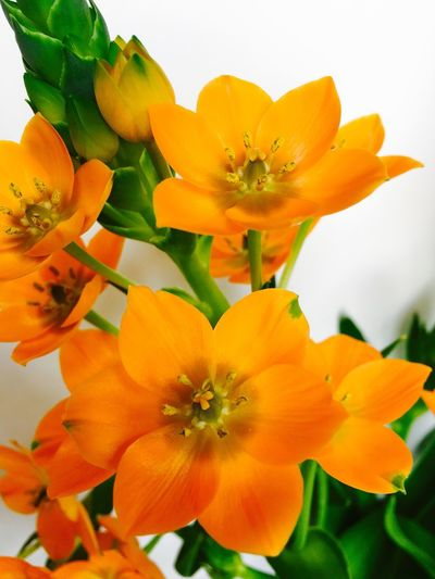 Sun Star Orange Color Orange Flowers Flower Collection