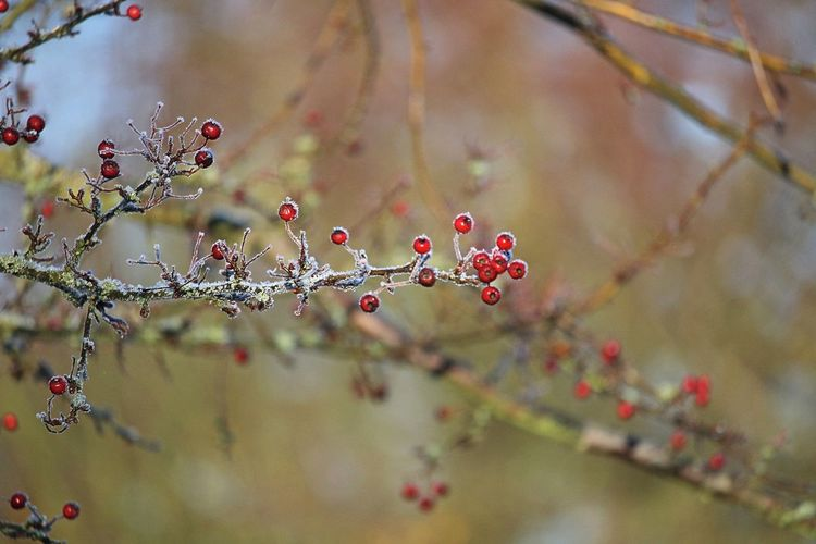 Beauty In Nature Close-up Fruit Berry Fruit Focus On Foreground Red Branch Tree Selective Focus Nature Wintertime Winter Bokeh Nature Photography Natural Beauty Beautiful Nature Lovely Frosty Frosty Mornings Cold Temperature Cold Cold Days Cold Winter ❄⛄ EyeEm Nature Lover EyeEm Gallery