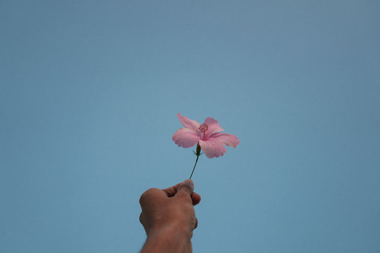 Close-up of hand holding pink flower against blue sky