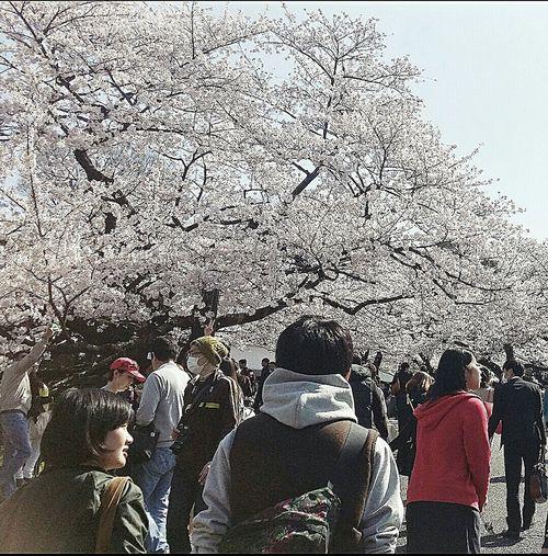 Chidorigafuchi Pedestrian Path Spring 2015 樱花 Tokyo Japan Travel Photography Sakura Visitors