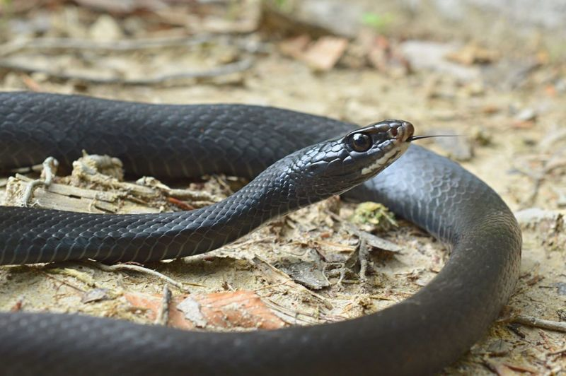 Black Racer Snake Reptiles Nature Nature_collection EyeEm Nature Lover Outdoors Check This Out Taking Photos Nikonphotography
