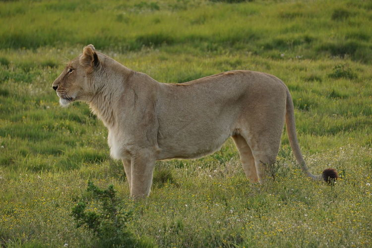 Lion standing on field