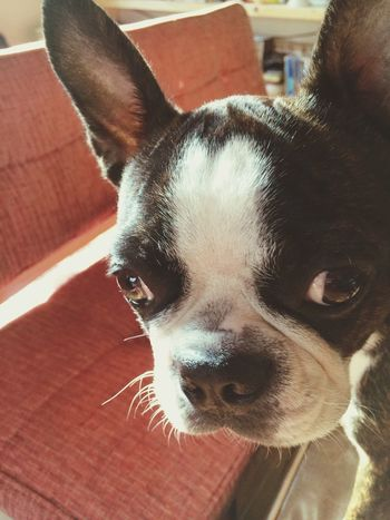 ナナちゃん Bostonterrier Dog Ilovemydog ボストンテリア Boston Terrier