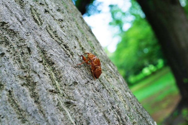 セミの抜け殻 Cicada