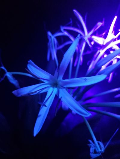 blue Lily Focus