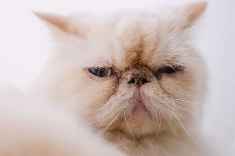 Mammal Pets One Animal Domestic Animal Themes Domestic Animals Animal Domestic Cat Looking At Camera Portrait No People Animal Body Part Close-up Indoors  Vertebrate White Color Animal Head  Cat Feline Persian Cat
