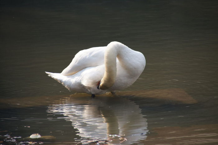 White Swan Birds Nature_collection Nature