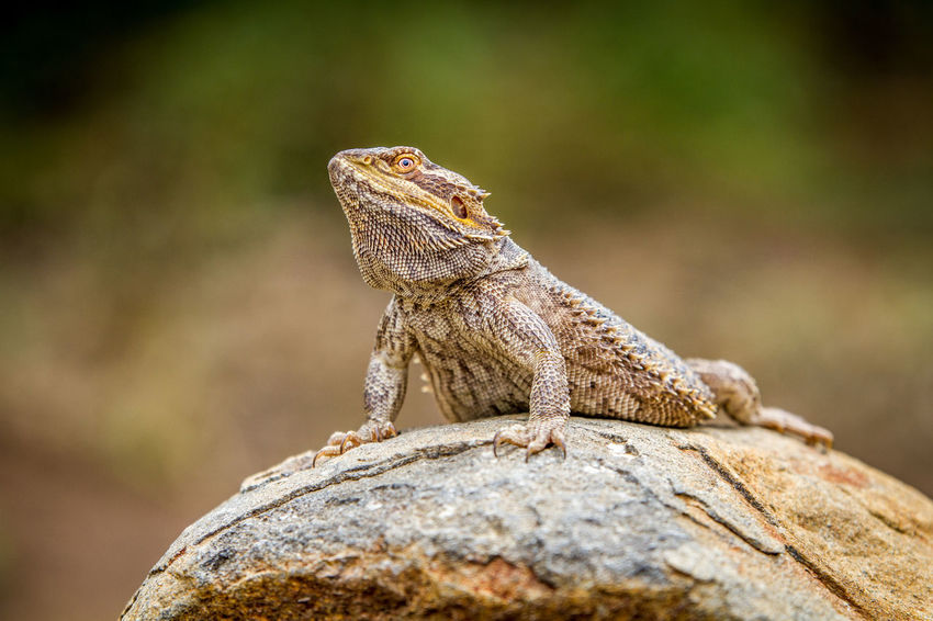 Warming up! Animals In The Wild Bearded Dragon Beautiful Beautiful Nature Dragon Nature Nature Photography Reptile Travel Traveling Wildlife & Nature Wildlife Photography Wildlife Photos Africa African Safari Animal Photography Animal Themes Animal Wildlife Animals Beauty In Nature Cold Blooded Safari Safari Animals Wildlife Wildlifephotography