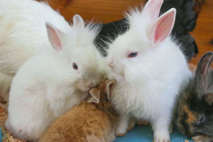 Friend Life Nature Natural Eye Innocent Lifestyle Day Season  Style View Cute Fluffy Rabbit Fur Background Brown Animal White Mammal Bunny  Furry Domestic Red Pet Rodent Sitting Adorable Baby Small Farm Little Hare Funny Love Wildlife Group Organic Garden Sweet Warren Family Agriculture Village Wild Zoo Young Ear Feed  Outdoor