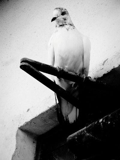 Pigeons Wildlife Birds Bahrain Samsung galaxy S4 Zoom