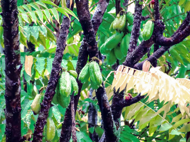 averrhoa bilimbi Averrhoa Bilimbi Green Rain Tree Beauty In Nature Branch Close-up Day Food Freshness Fruit Growth Hanging Nature No People Outdoors Plant Wet