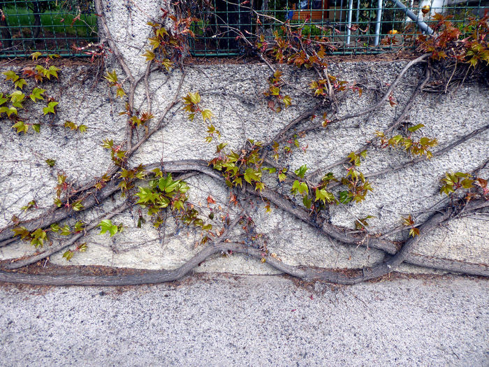 wild vine🤗 Nature Is My Religion Nature Is My Sanctuary 🌳💚 Beliebte Fotos For My Friends 😍😘🎁 Lucky Me🦄 L❣O❣V❣E❣I❣T❣ H🌞A🌞P🌞P🌞Y🌞 Shine On❣❣❣ Maximum Growth Vine Roots Of Life Roots And Branches Vines On Wall Nature Finds A Way Memories ❤ In Vienna High Angle View Close-up
