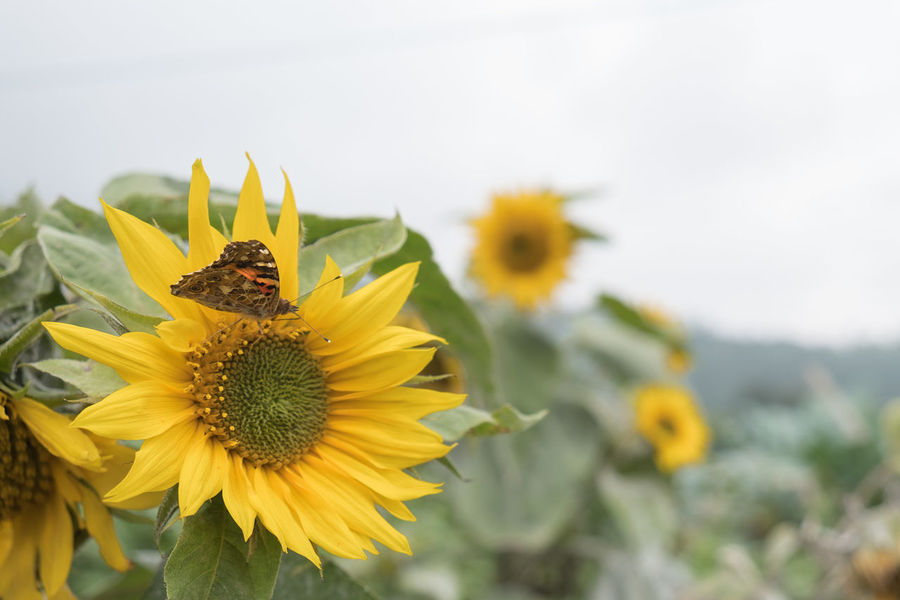 Happy Sunflowers Beauty In Nature Bee Blooming Bugs Buterfly Close-up Day Flower Flower Head Fragility Freshness Growth Nature No People Outdoors Petal Plant Sunflower Sunflowers Yellow