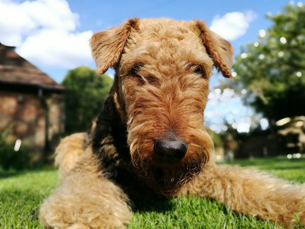 Low Angle View Animal Grass Airedale Lovers Airedale (again) sun Outdoors One Animal Barn Close-up Animal Themes Dog Pets