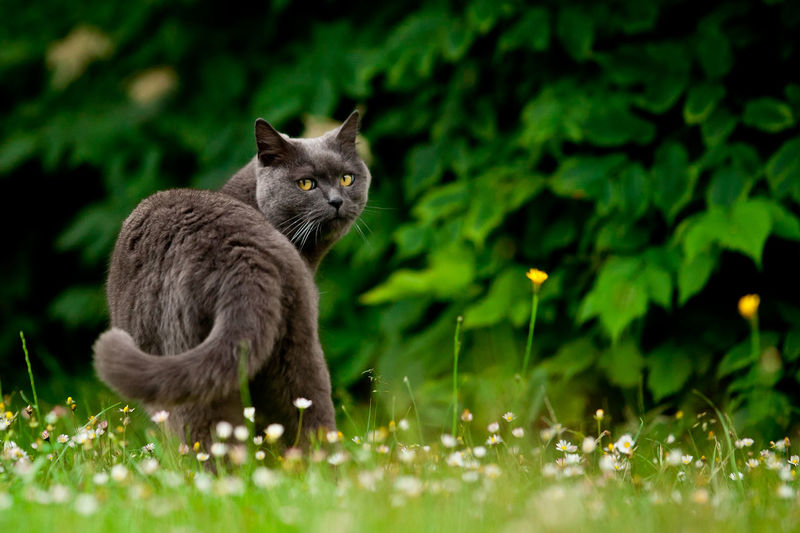 Blue Cat British British Cat Animal Animal Themes Blue British British Shorthair British Shorthair Cat Cat Cat In Garden Cat Looking At Camera Cat Outdoors Domestic Animals Domestic Cat Feline Going Away Grass Green Color Nature No People One Animal Pets Purebred Cat Shorthair Shorthaired