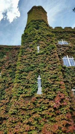 Ivy Wall Wall Ivy Ivyleaves Green Justaroundthecorner