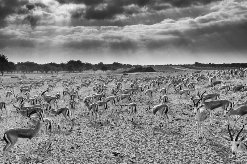 Wild animals on field against cloudy sky