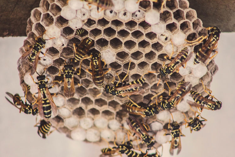 Wasp Nest Animal Themes Animals In The Wild APIculture Bee Beehive Close-up Day Honey Bee Honeycomb Indoors  Insect Large Group Of Animals No People Wasp Wasp Macro