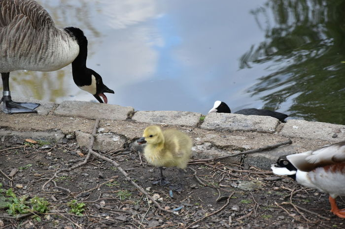 Animal Family Animal Themes Animal Wildlife Animals In The Wild Beak Bird Day Gosling Lake Nature No People Outdoors Togetherness Water Water Bird Young Animal Young Bird