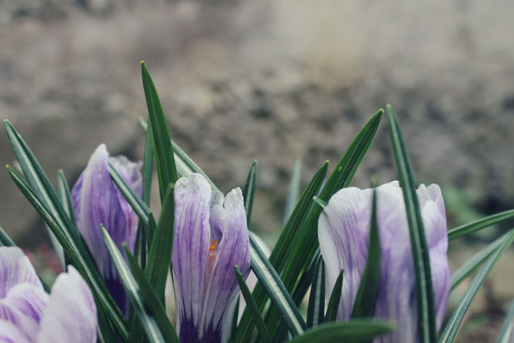 Flowering Plant Flower Plant Freshness Beauty In Nature Vulnerability  Petal Fragility Close-up Growth Purple Nature Flower Head Inflorescence Focus On Foreground Selective Focus Crocus No People Green Color Day Outdoors Iris Springtime Bouquet