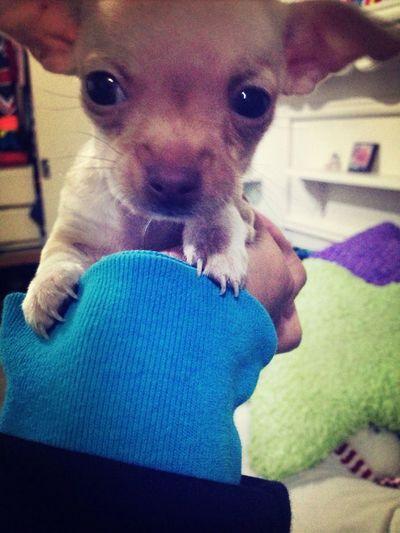 Hermosho my Puppy Cute Want!
