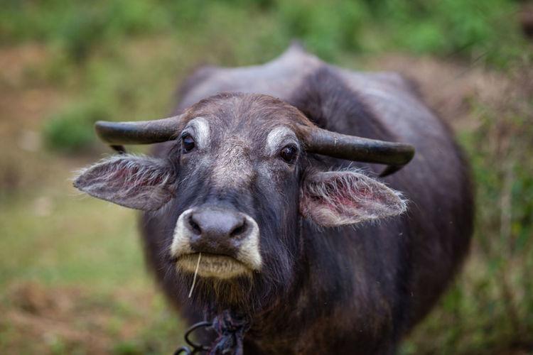 Close-up portrait of water buffalo