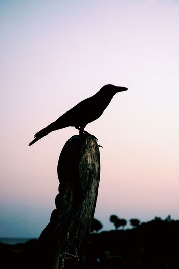Silhouette Crow On Rock Against Sky