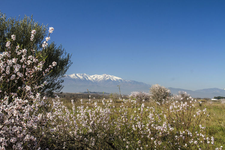 Snow Catalan Canigou Mountain Plant Beauty In Nature Sky Tranquility Scenics - Nature Tranquil Scene Growth Tree Flower Nature Flowering Plant Landscape Day Environment Land No People Non-urban Scene Clear Sky Idyllic Outdoors Mountain Peak Cherry Blossom