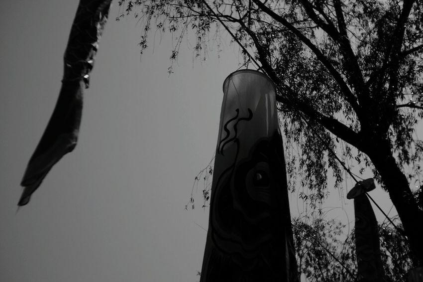 Japanese Traditional Koinobori Koi Black And White Photography Fuji X-T1 Pancolar 50mm F2 FUJIFILM X-T1 Tree Carl Zeiss Jena Black And White