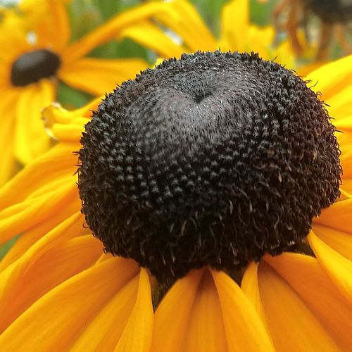 Flower Nature Beauty In Nature Fragility Close-up Flower Head Growth Petal Black-eyed Susan Outdoors NewToEyeEm From My Point Of View First Eyeem Photo No People EyeEmNewHere PhonePhotography