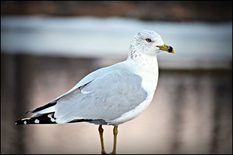 Animal Themes Bird Close-up Focus On Foreground Perching Seagull Wildlife
