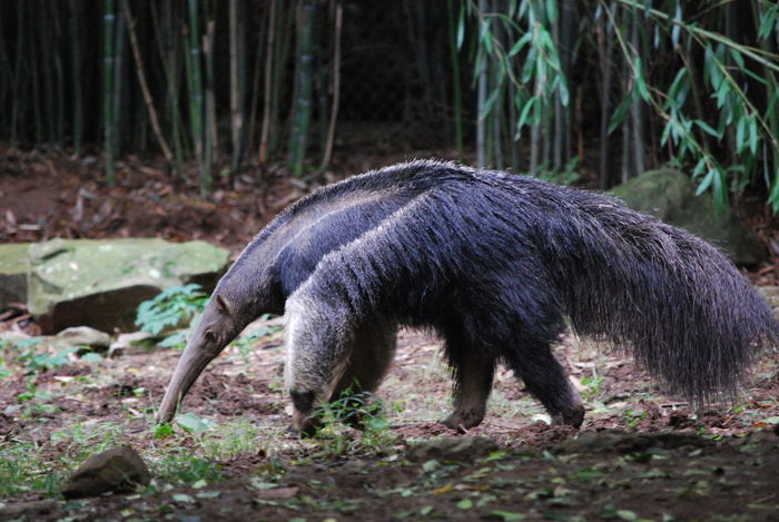 Animal Photography Animal Themes Animal Wildlife Beauty In Nature Day Giant Anteater Mammal Nature No People One Animal Outdoors Wildlife Photography