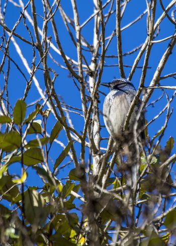 California Scrub jay (Aphelocoma californica) spotted outdoors Aphelocoma Californica California Scrub Jay California Scrubjay Western Scrub Jay Animal Themes Animal Wildlife Animals In The Wild Bird Day Nature No People One Animal Outdoors Perching