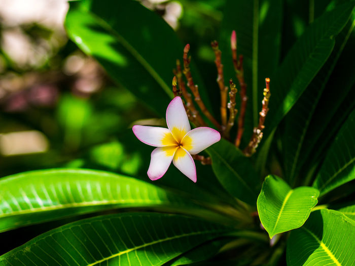 Thai flowers Flowering Plant Flower Plant Freshness Beauty In Nature Fragility Vulnerability  Growth Close-up Plant Part Petal Leaf Inflorescence Flower Head Green Color Nature Focus On Foreground Day Frangipani No People Outdoors