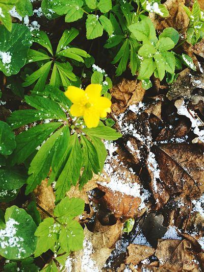 Spring Flowers Spring Yellow Flower Flower Snow Snowflower
