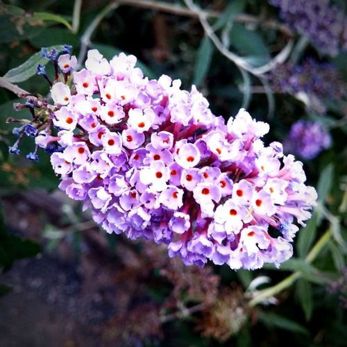 Butterfly bush blossoms