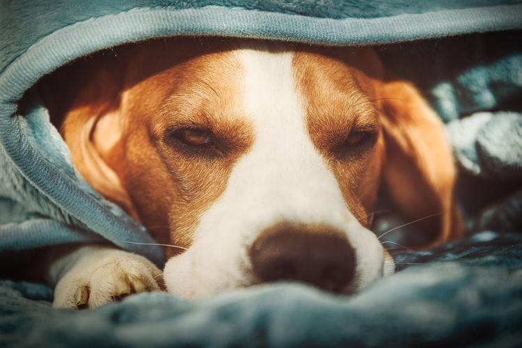 Close-up portrait of dog resting under blanket