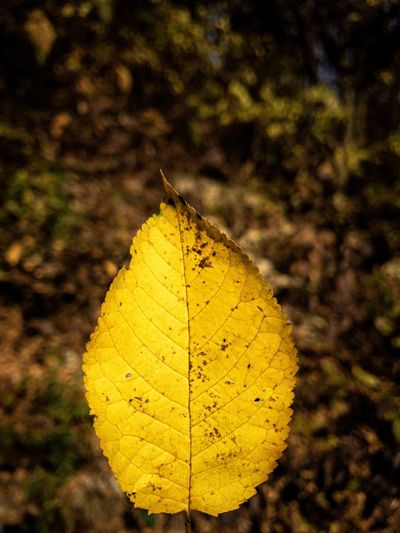 Close-up of yellow dry leaf on land