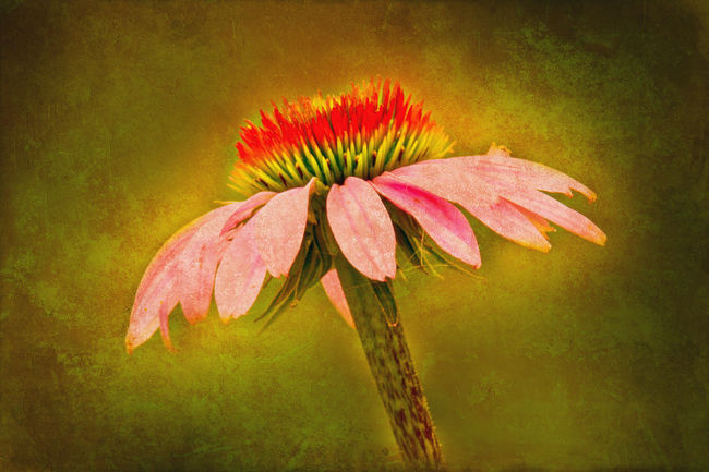 Coneflowers are lovely wildflowers that draw bees and butterflies into your yard. This beautiful pink, red, and yellow flower is enhanced with texture layers from Shadowhouse Creations and French Kiss with work in Photoshop. The flower, itself, is highlighted. Beauty In Nature Blooming Botany Close-up Coneflower Elégance Enhanced Floral Flower Focus On Foreground Fragility Freshness Glowing Growth Manipulated Nature Petal Pink Pink Color Postprocessing Red Single Flower Softness Vignette Wildflower