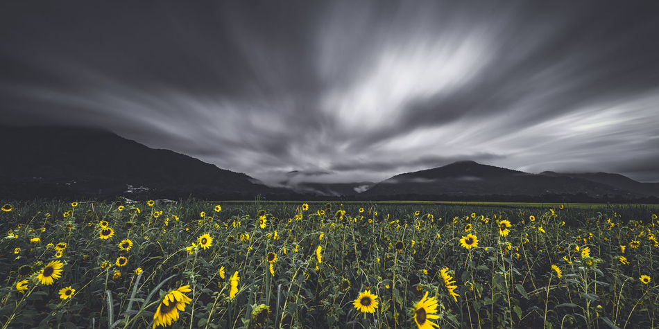 Art Wall Art EyeEm Nature Lover Fine Art Photography Sunflower Beauty In Nature Mountains Black And White Blackandwhite Cloud - Sky Clouds And Sky Dream Field Fine Art Flower Landscape Landscape_photography Landscapes Mountain Mountain Range Nature Selective Color Sky Tranquility Yellow Summer Exploratorium