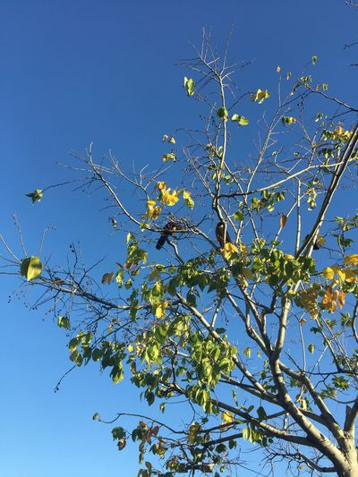 """""""Charm the birds out of trees."""" -Proverb Low Angle View Clear Sky Tree Birds Blue Outdoors Tadaa Community"""