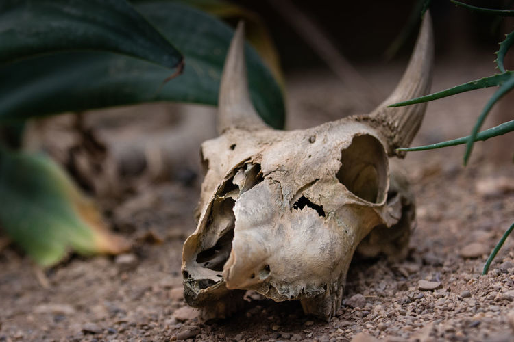 Animal scull laying on the ground Animal Body Part Animal Bone Animal Skull Animal Themes Antler Close-up Day Decay Ground Horns Nature No People Outdoors