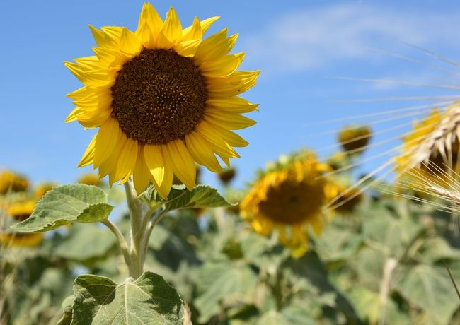 Beauty In Nature Blooming Close-up Day Field Flower Flower Head Focus On Foreground Fragility Freshness Growth Nature No People Outdoors Petal Plant Sky Sunflower Sunflower Sunflower Head Sunflowers Field Yellow EyeEm Selects Paint The Town Yellow Been There.