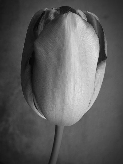Nature Photography Fiori Fiore EyeEm Best Shots EyeEm Nature Lover Nature_collection Nature Bianco E Nero Black And White Flower Flowers EyeEm Gallery Macro Beauty Macro Tulipano Tulip Tulipan Grey Grigio My Favorite Flower Delicate Black And White Friday