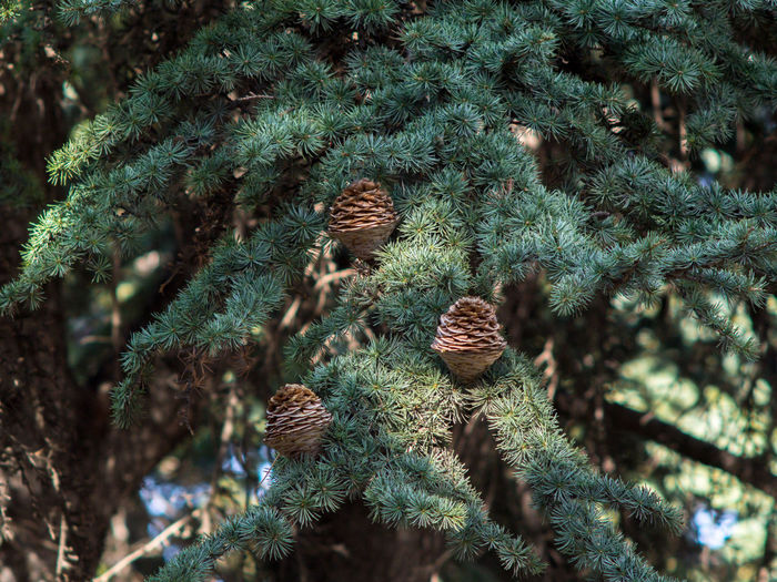 Botany Cedars Cedars Tree Close-up Cones Crimea Day Gawlet Green Color Lebanese Cedars Nature No People Outdoors Pine Cones Russia Sevastopol  Tree Wallpaper